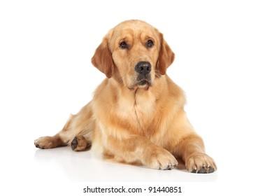 Golden Retriever dog lying on the white floor