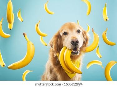 Golden Retriever dog with many yellow bananas
