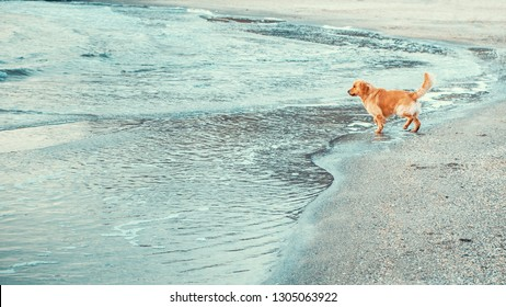 Golden retriever dog on the beach goes to sea water