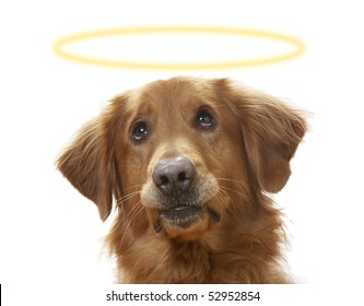 a Golden Retriever dog on a white background, wearing a halo