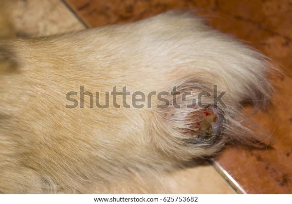 Golden Retriever Dog Open Cyst Stock Photo (Edit Now) 625753682