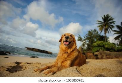 Golden Retriever dog outdoor portrait lying on tropical beach