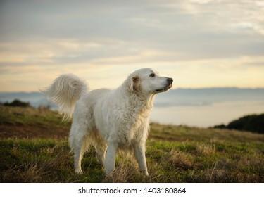 Golden Retriever dog outdoor portrait in field