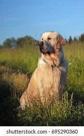 Golden retriever dog outdoor in summer field