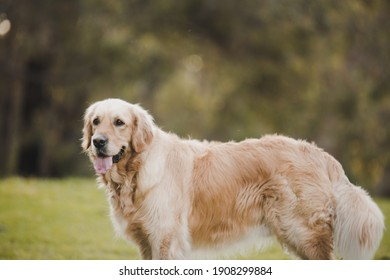 golden retriever at dog park with tongue out