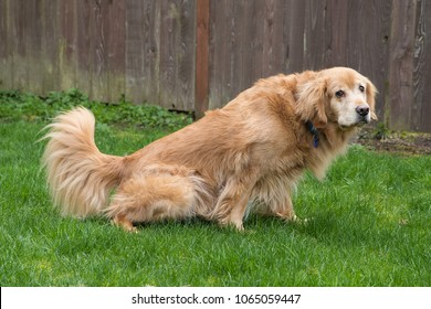 Golden Retriever Dog peeing in the yard