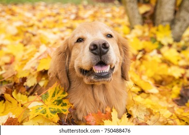 Golden Retriever dog in a pile of yellow Fall leaves