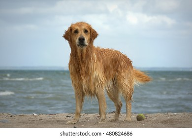 golden retriever dog playing at the beach and ocean in the background