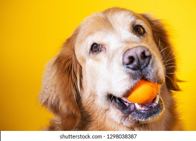 Golden retriever dog playing with toy ball