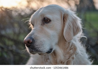 Golden Retriever dog portrait on sunset