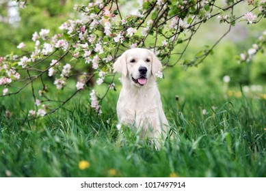 golden retriever dog posing outdoors in spring