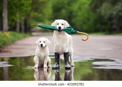 golden retriever dog and puppy in a puddle with umbrella