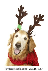 Golden retriever dog with a reindeer antlers and a red scarf for Christmas on a white background