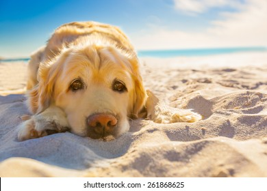 golden retriever dog relaxing, resting,or sleeping at the beach, under the bright sun