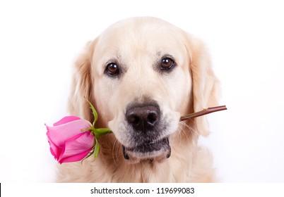 Golden retriever dog with rose