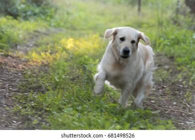 Golden Retriever dog running in the grass