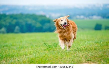Golden retriever dog running on the field