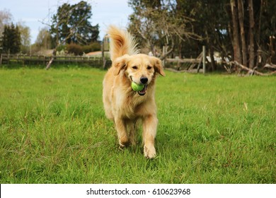 Golden Retriever Dog Running With Tennis Ball