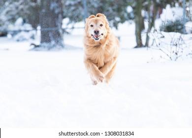 Golden retriever dog running in the winter snow
