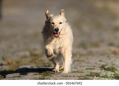 Golden Retriever dog running at Zemun Quay,Belgrade,Serbia.