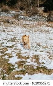 Golden retriever dog runs in a snowy mountain meadow in the morning light of the Italian Alps