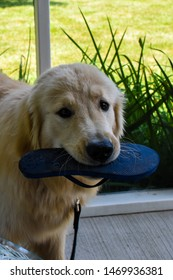 golden retriever dog with a sandal in his mouth in sunroom