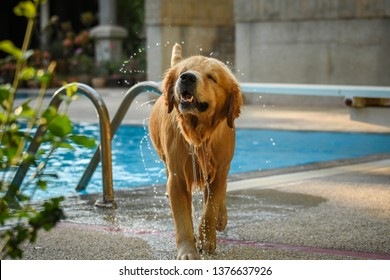 Golden Retriever (Dog) Shaking Water by Swimming Pool
