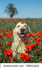 Golden retriever dog is sitting among the poppies with poppy petal on it's head.