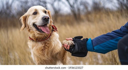 Golden retriever dog sitting on the groung and gives paw to owner in winter nature landscape