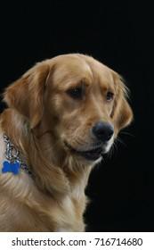 Golden Retriever Dog Sitting on broun background