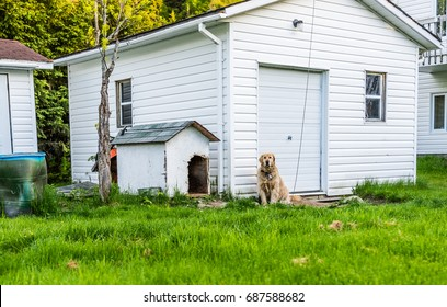 Golden retriever dog sitting outside by doghouse on leash in backyard