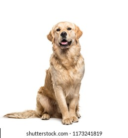 Golden retriever dog sitting and panting, isolated