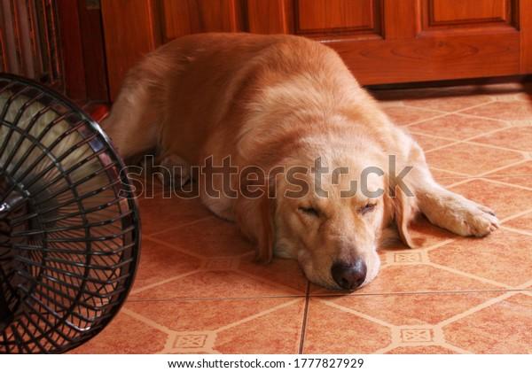 The Golden retriever dog is sleeping near an electric fan