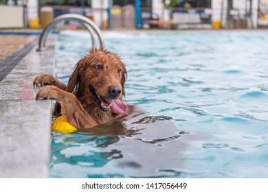 Golden Retriever dog squatting by the pool