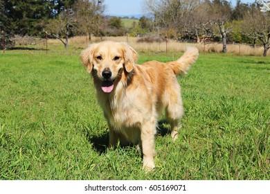 Golden Retriever Dog Standing In Field