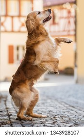 Golden retriever dog standing on hind legs in a small town