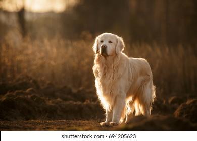 Golden retriever dog standing outdoor in autumn field with beautiful lighting