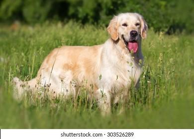 Golden retriever dog standing in the park