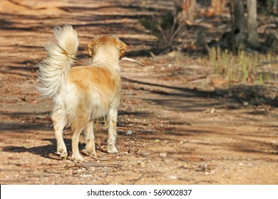 a golden retriever dog with stick in mouth facing away