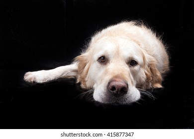 Golden Retriever Dog Studio in black