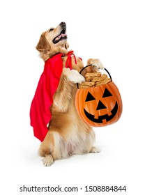 Golden Retriever dog with super hero cape carrying pumpkin candy container sitting up begging for Halloween treats