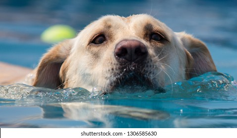 Golden Retriever Dog swims towards the camers through clear blue water.  Head shot