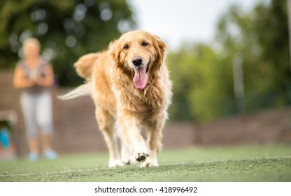 Golden retriever dog walking outdoor