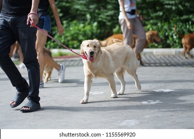 Golden retriever dog walking side by side with her owner in the dog community