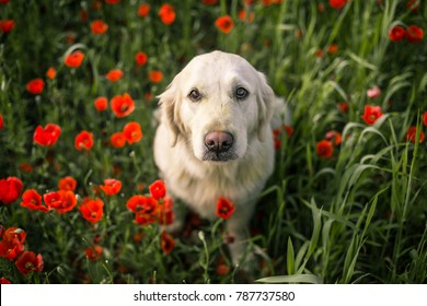 Golden retriever dog is watching on you with it's deep beautiful eyes among the poppies