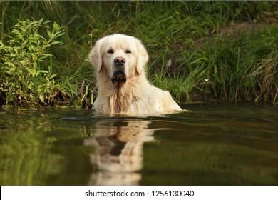 Golden retriever dog in water