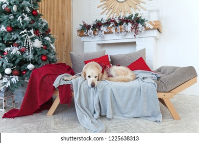 Golden Retriever Dog Wearing in Red Coat Nap on Ligt GrayTextile Decorative Coat on Sofa in House or Hotel. Christmas Tree, balls, lights, wreath in room. Pets care friendly concept.