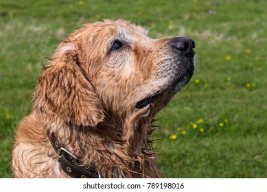 Golden Retriever dog wet after a swim looking up