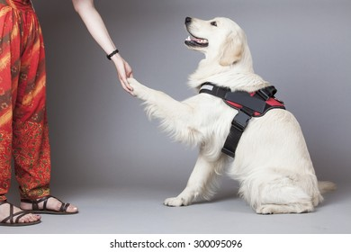 Golden Retriever Dog (white) with trace giving paw on grey background. Isolated studio shot.