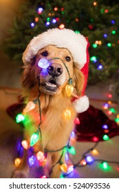 Golden Retriever Dog wrapped in colorful Christmas lights